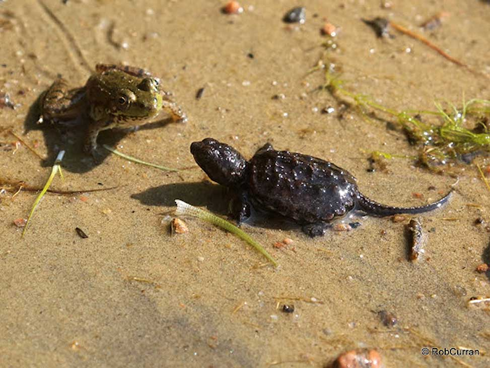 Frog and turtle on cottage beach